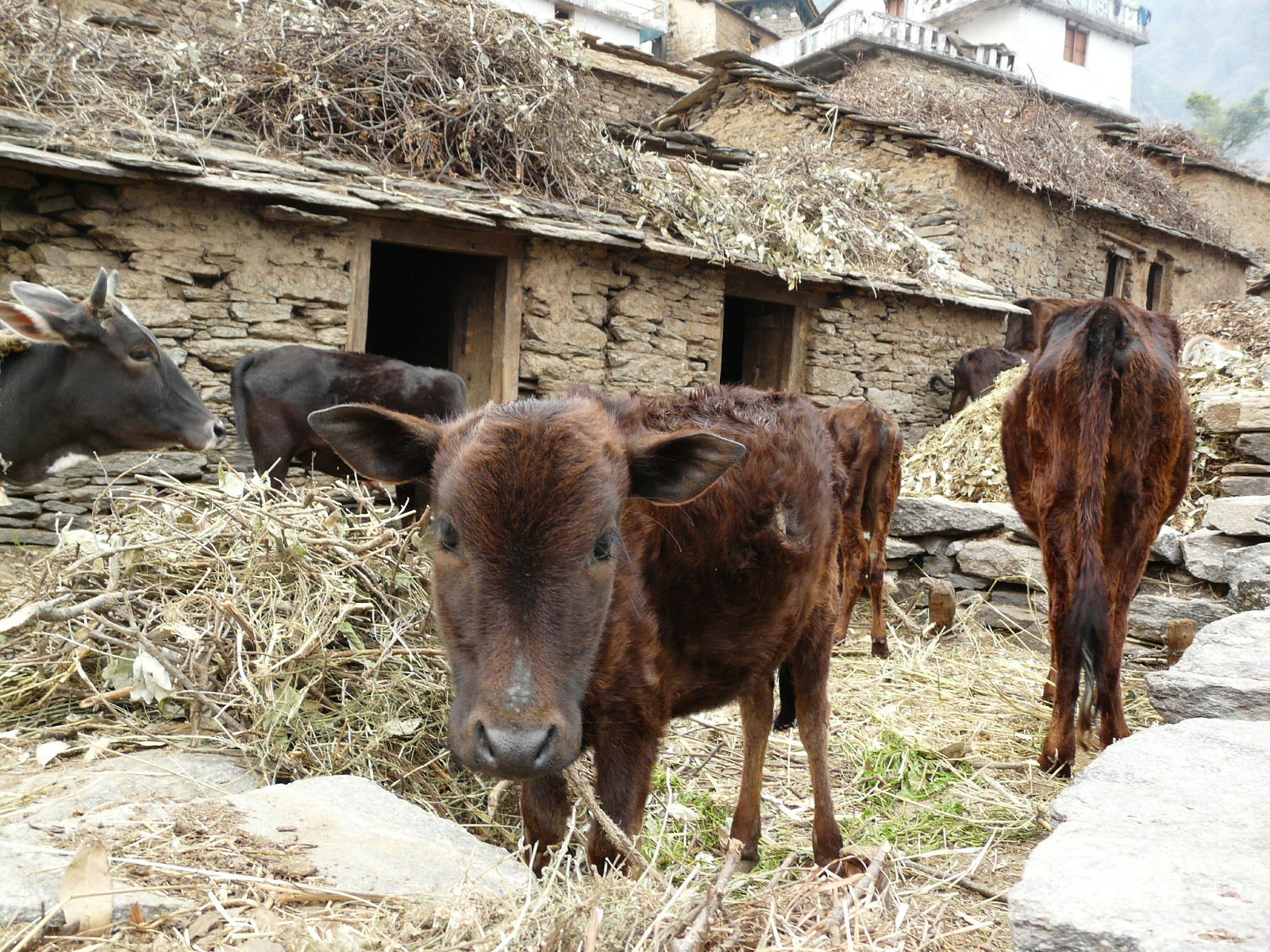 cows-in-villages