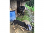 dog-and-cow