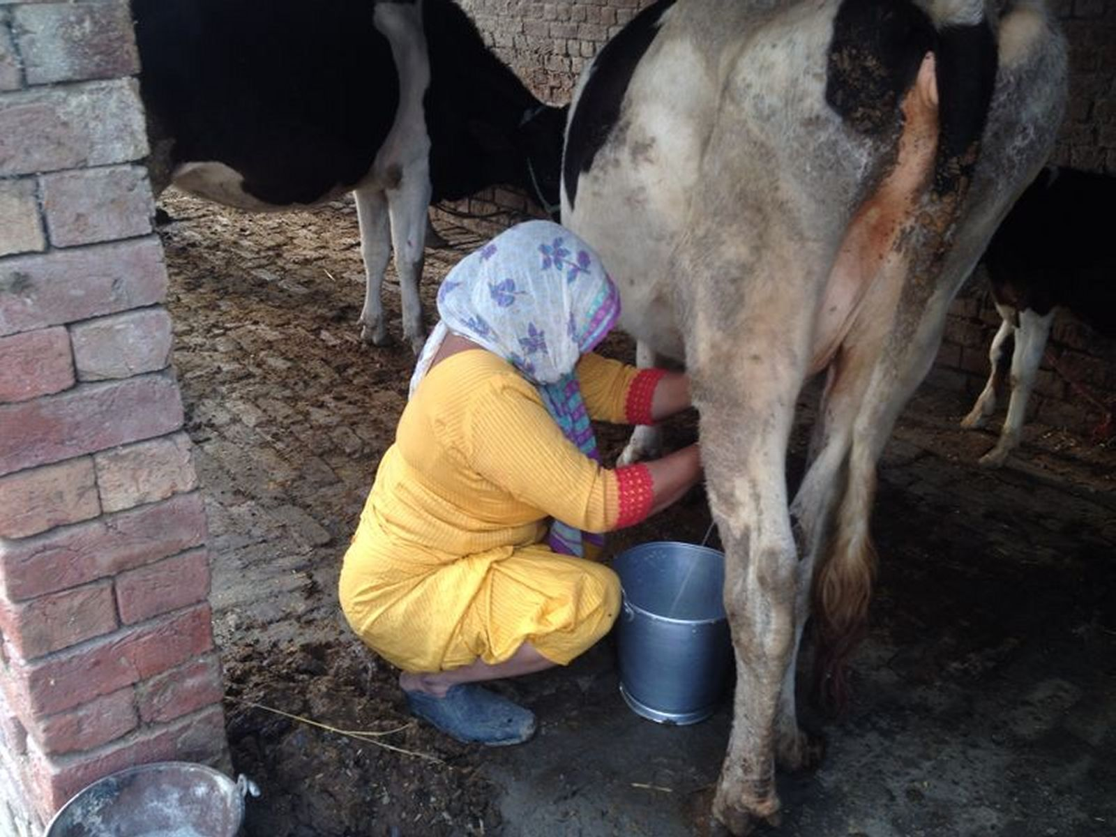 milking-cow